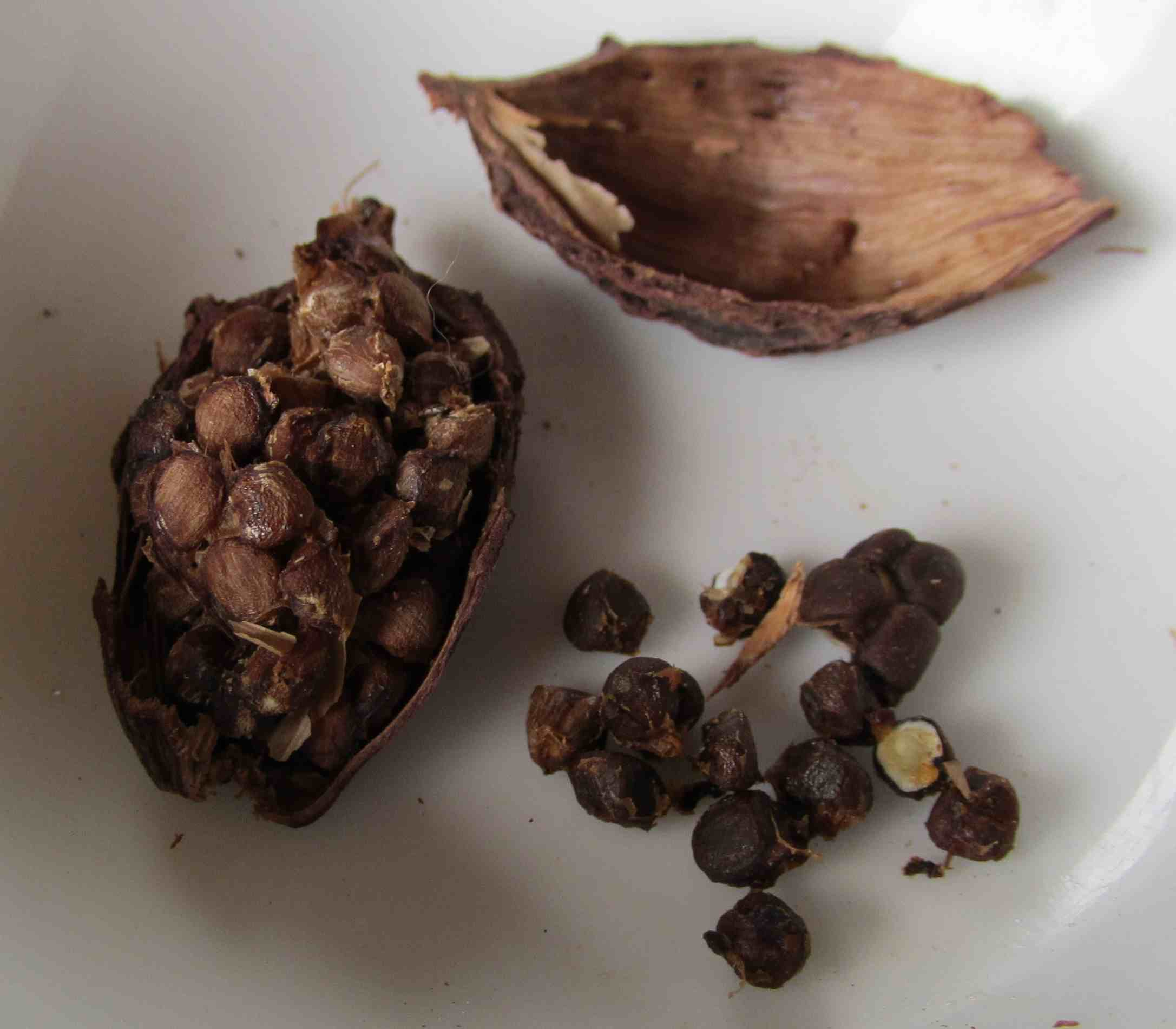 cardamom spice Black cardamom, also known as hill cardamom, bengal cardamom, greater cardamom, indian cardamom, nepal cardamom, winged cardamom, or brown cardamom, comes from either of two species in the family zingiberaceae.