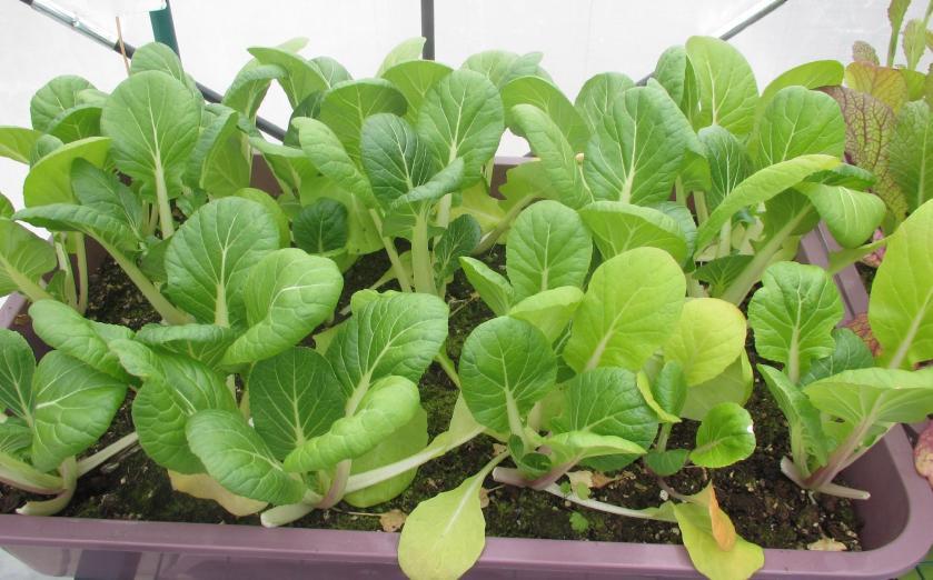 Greenhouse Bok Choy Stir-fry 01