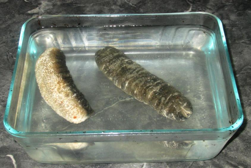 Sea Cucumber 04