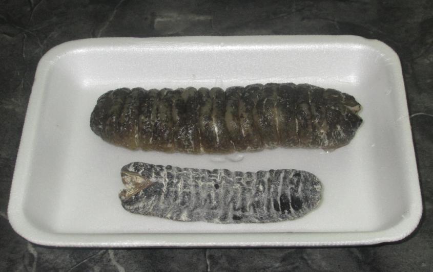 Sea Cucumber 05