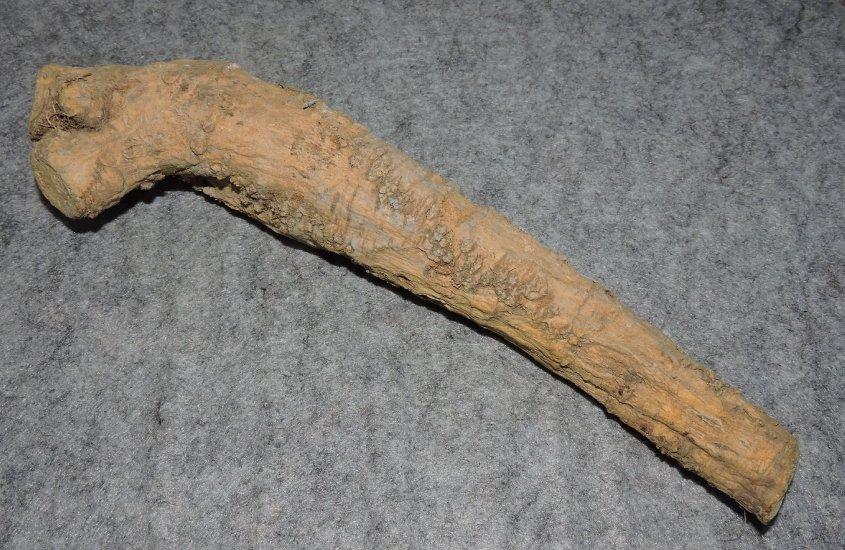Horseradish Root 1